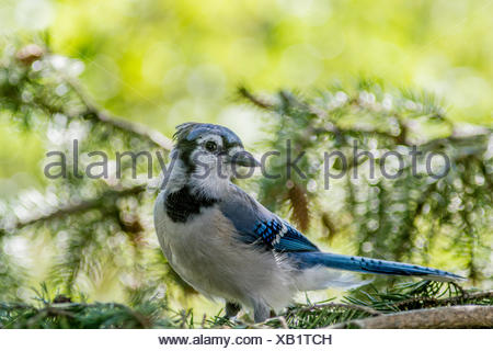 Blue Jay (Cyanocitta cristata) Sitting in the trees, Calgary, Alberta, Canada - Stock Photo
