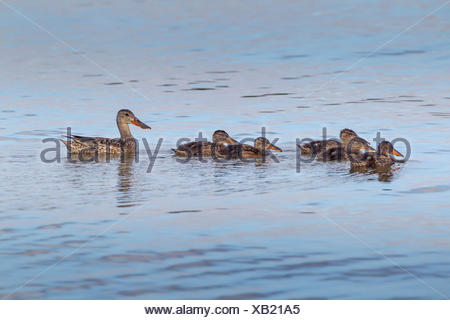 Northern Shovelers (Anas clypeata), Misery Bay Provincial Park, Manitoulin Island, Ontario, Canada - Stock Photo