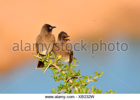 Two Cape Bulbuls (Pycnonotus capensis), perched on a branch, juvenile on the left, both watching flies - Stock Photo