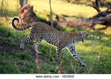 Leopard (Panthera pardus), adult walking and yawning, Sabisabi Private Game Reserve, Kruger National Park, South Africa, Africa - Stock Photo