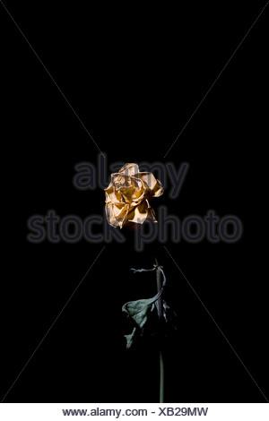 Dead rose - Stock Photo