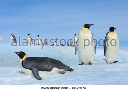 Emperor penguin (Aptenodytes forsteri), adults in a colony, one of it lying on its belly, Antarctica, Snow Hill Island - Stock Photo