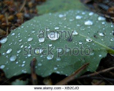 Close-up of an aspen leaf with rain drops on the ground - Stock Photo