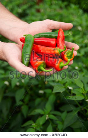 Hands Holding Red And Green Chilli Peppers - Stock Photo