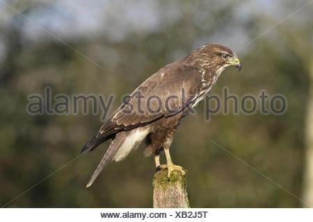 Common Buzzard - Buteo buteo - Stock Photo