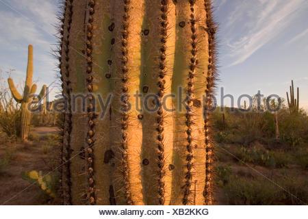Shown is a Saguaro Cactus(carnegiea gigantea) in Saguaro National Park, Arizona.  These cactus can grow 50 feet tall and live - Stock Photo