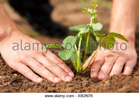 strawberries are planted in the garden - Stock Photo