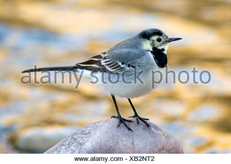 pied wagtail (Motacilla alba), perched on a stone at river, Spain, Turia river natural park - Stock Photo