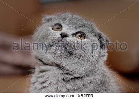 British Shorthair (Felis silvestris f. catus), little grey-haired British Shorthair kitten with floppy ears, portrait - Stock Photo