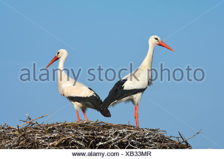 White Storck, Ciconia ciconia, Pair on Nest, Spring, Hesse, Germany - Stock Photo