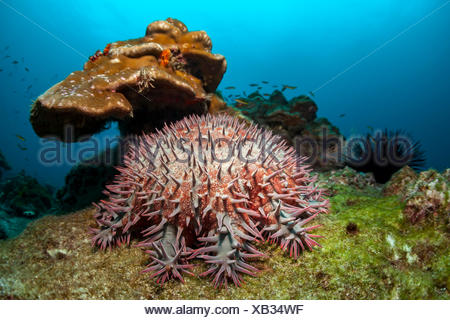 Crown of Thorns Starfish in Coral Reef, Acanthaster planci, Cocos Island, Costa Rica - Stock Photo
