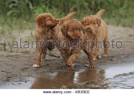 Nova Scotia Duck Tolling Retriever Puppies - Stock Photo