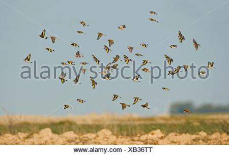Goldfinch - Carduelis carduelis, Linnet - Carduelis cannabina, Tree Sparrow - Passer montanus - winter flock - Stock Photo