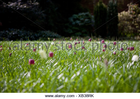 A meadow of purple snake's head fritillary flowers - Stock Photo