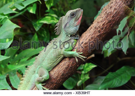Chinese water dragon, Physignathus cocincinus - Stock Photo