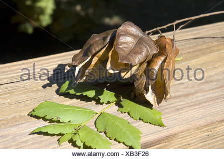 CLOSE-UP OF SEED PODS FROM GOLDEN RAIN TREE (KOELREUTERIA PANICULATA) / NEW JERSEY - Stock Photo