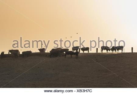 Bulls on a farm - Stock Photo
