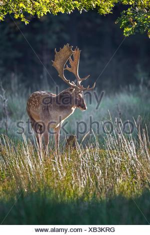 Fallow deer (Dama dama), stag in autumn, Schaufler, Saxony, Germany - Stock Photo