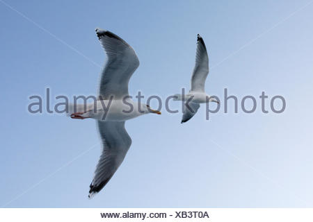 Two seagulls in flight. - Stock Photo