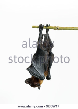 Lyle's fruit bat - Pteropus lylei - Stock Photo