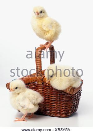Three yellow chicks in basket, Light Sussex chicks - Stock Photo