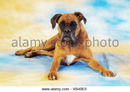 old Boxer - lying - cut out - Stock Photo