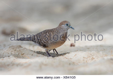 Barred ground dove (Geopelia striata), Seychelles - Stock Photo