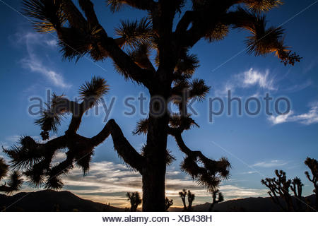 A Joshua tree, Yucca brevifolia, silhouetted against the sunset sky in Lost Horse Valley of California's Joshua Tree National Park. - Stock Photo