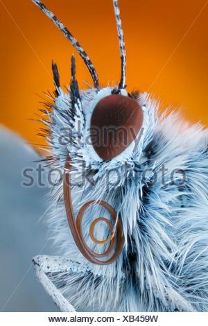 Common blue (Polyommatus icarus) with proboscis, extreme close-up