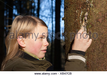 Norway spruce (Picea abies), girl collecting tree gum that run out of a hurt spruce trunk, Germany - Stock Photo