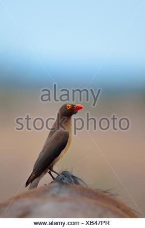 Red-billed oxpecker (Buphagus erythrorhynchus), eating ticks on the back of a Blue wildebeest (Connochaetes taurinus) - Stock Photo