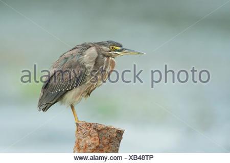 Green Heron Butorides virescens Panama - Stock Photo