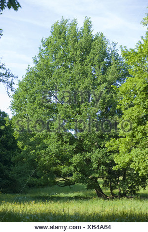 field maple, acer campestre - Stock Photo