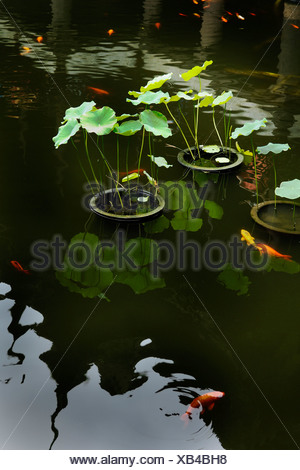 Goldfish and lotus (Nelumbo), Yuyuan Garden, Shanghai, China, Asia - Stock Photo