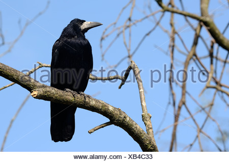 Rook (Corvus frugilegus), adult bird perched in a tree, Kiel, Schleswig-Holstein, Germany, Europe - Stock Photo