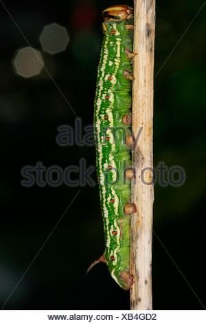 Pine Hawk-moth (Hyloicus pinastri) - Stock Photo