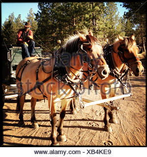 Cowboy sitting in horse drawn carriage - Stock Photo