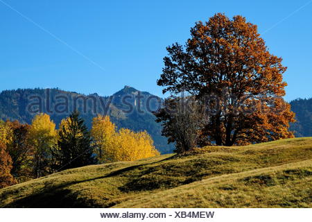 tree trees alps deciduous trees top of the mountain nature fall autumn tree trees mountains brown brownish brunette leaves - Stock Photo