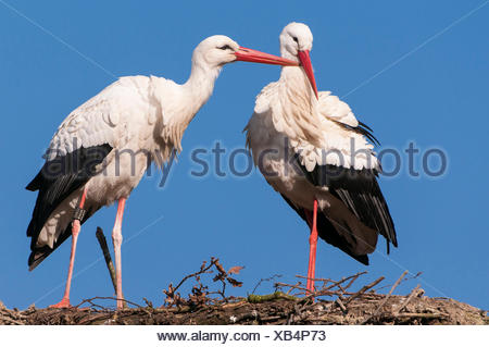 White Storks, pair, Lower Saxoyn, Germany / (Ciconia ciconia) - Stock Photo