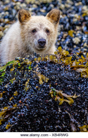 Grizzly bear cub peaking from behind a rock, cute and adorable, along low tide line, in Knight Inlet, British Columbia, Canada. Ursus arctos - Stock Photo