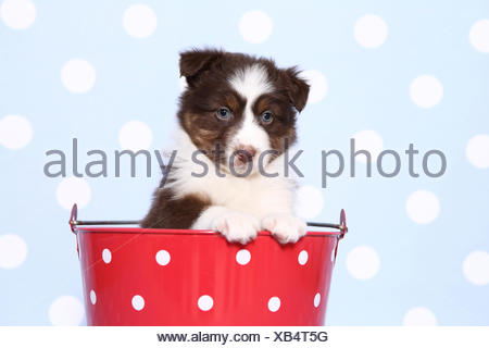 Australian Shepherd. Puppy (6 weeks old) sitting in a red bucket with white polka dots. Studio picture against a blue background with white polka dots. Germany - Stock Photo