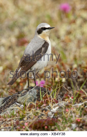 Northern Wheatear (Oenanthe oenanthe) perched on the tundra in Nome, Alaska. - Stock Photo