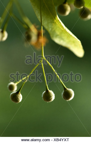 large-leaved lime, lime tree (Tilia platyphyllos), twig with fruits, Germany - Stock Photo
