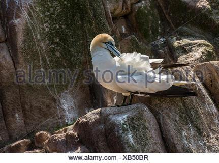 Northern gannet standing on rocks, Ireland - Stock Photo