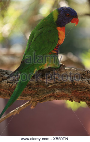Rainbow Lorikeet, Trichoglossus haematodus, Australian parrot, rainforest, woodland, Australia, bird, hole breeders, hole nestin - Stock Photo