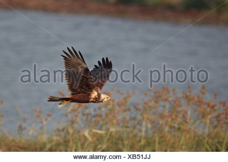 Eastern Marsh-harrier (Circus spilonotus) first winter male, in flight over fishpond, Mai Po Nature Reserve, Hong Kong, China - Stock Photo