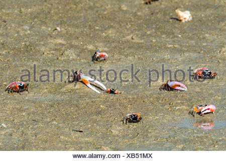 The bright pink claws of a male Fiddler Crabs used for defense on a tidal flat. - Stock Photo