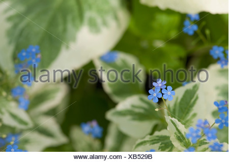 Close-up of blue wildflowers, Lake of the Woods, Ontario, Canada - Stock Photo