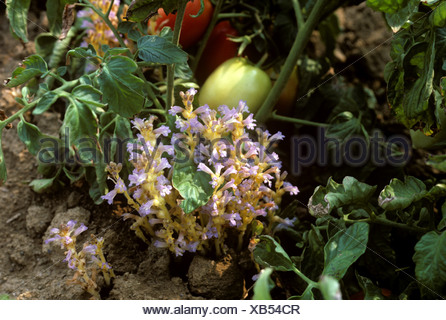 Branched broomrape Orobanche ramosa flower on tomato crop in fruit