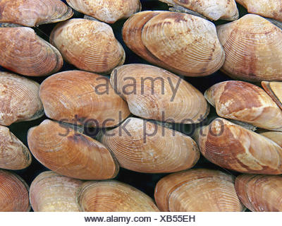 Clams, Class: Bivalvia, Representative mollusks. Bivalves have a shell with two halves. Filter feeders, they take in food and - Stock Photo